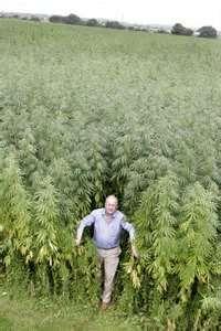 Buy Afghan Marijuana Seeds For Sale http://www.mjseedscanada.com/products-page/afghan/