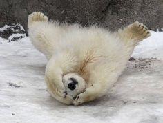 Peek-a-Boo little bear! {Adorable Baby Polar Bear Photography} #AnimalLove