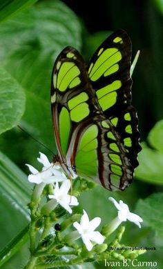 The Malachite butterfly (Siproeta stelenes) is a neotropical brush-footed butterfly (family Nymphalidae). That has large wings that are black and brilliant green or yellow-green on the uppersides and light brown and olive green on the undersides. It is named for the mineral malachite, which is similar in color to the bright green on the butterfly's wings measuring 8.5 and 10 cm (3.3 and 3.9 in) & is found throughout Central and northern South America.