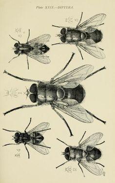 Diptera. Australian insects. By Walter W. Froggatt. 1907. Biodiversity Heritage Library