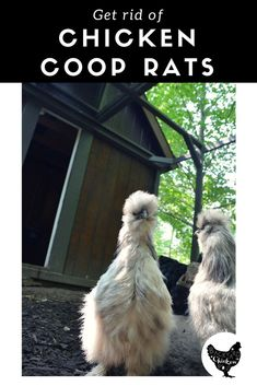 Best Way to Get Rid of Rats in Your Chicken Coop We've put together the definitive guide to help you get rid of rats in the chicken coop!We've put together the definitive guide to help you get rid of rats in the chicken coop! Chicken Coop Building Plans, Backyard Chicken Coop Plans, Portable Chicken Coop, Raising Backyard Chickens, Best Chicken Coop, Keeping Chickens, Backyard Poultry, Chicken Coup, Small Chicken