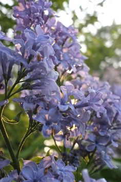 Love the sunlight in this one. Beautiful Flowers Pictures, Flower Pictures, Lilac Flowers, Cut Flowers, Syringa Vulgaris, Little Plants, Organic Farming, Drought Tolerant, Wedgwood