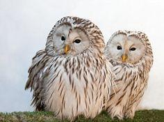 Fonds d'écran Animaux > Fonds d'écran Oiseaux - Hiboux et Chouettes Wallpaper N°412195 par le-disparu - Hebus.com