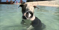 Blue staff puppy has his first ever swim! So cute! :)