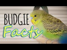 Cockatiel Cage, Pet Bird Cage, Budgies, Little Birds, Pet Birds, Parrot, Facts, Amazing, Animals
