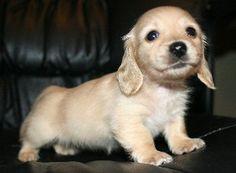 Clear cream dachshund puppy