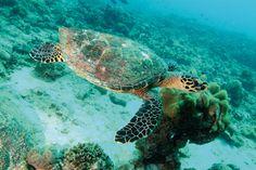 Tortue de mer dans les eaux turquoises des Seychelles