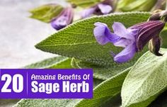 20 Amazing Benefits Of Sage Herb For Skin, Hair And Health This is a very informative article. I'm very happy I stumbled on it because I have a very out of control sage plant growing in my herb garden!