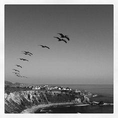 Pelicans in Palos Verdes