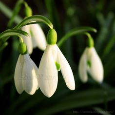 Snowdrops. Photo by Alecia Viklund (Arctida)