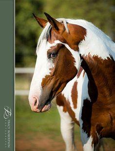 (92) Ruach Pinto Sport Horses - Photos