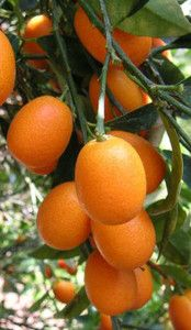 Quat Fruit Tree The Quats Or Are A Group Of Small Bearing Trees Edible Which Is Also Called Similar To Other