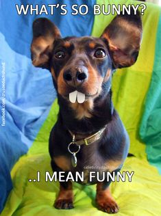 Easter Bunny Dachshunds – Crusoe Celebrity Dachshund