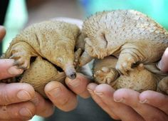 19.) These two spiny anteaters don't have any hair. But they have plenty of little spines sticking out of their back.