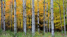 Fall in Peninsula State Park by Christopher Franklin on Capture Door County // A grove of trees proudly display their color late in October