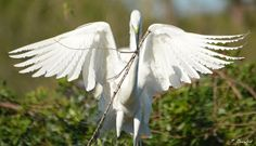 A fluttering great egret is spotted while hauling nesting material to a nearby rookery.