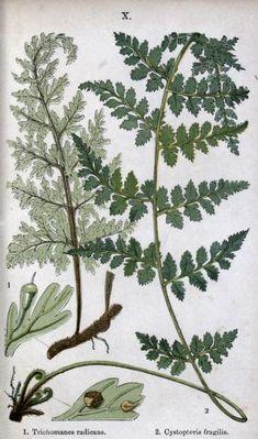 British ferns and their allies - Biodiversity Heritage Library