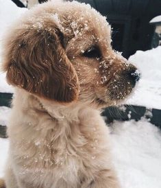 Golden Retriever Puppies Golden Retriever puppy playing in the snow Cute Little Animals, Cute Funny Animals, Animals In Snow, Super Cute Animals, Fluffy Animals, Cutest Animals, Little Dogs, Cute Dogs And Puppies, Doggies