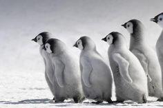 Bing baby birds birds emperor penguins penguins