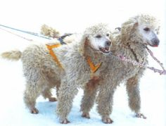 John Suter's daughter Esther ran the 1992 Jr. Iditarod, a 154 mile sled dog race with poodles. Esther still holds the track record for rookie of the year and placed 3rd with a completion of 10.5 hrs. Esther and her poodles were shown on ABC Wide World of Sports in 1992.
