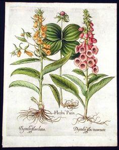 [Herb paris] Herba Paris; [Common pink foxglove] Digitalis flore incarnato; [Yellow foxglove] Digitalis flore luteo. Basil BESLER. $2500