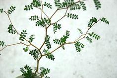 「メルヘンの木」と呼ばれるソフォラプロストラータはその繊細な見た目とは裏腹によく根を張り葉も伸びる丈夫な植物です。幾何学的な枝の曲がり方と小さな葉っぱがおしゃれで可愛いですね。