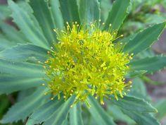 La rodiola, conosciuta anche come radice d'oro, è diffusa nei grandi spazi d'Europa! Le sue proprietà influiscono sull'umore: la rodiola aiuta a ritrovare la calma e  eliminare le tensioni interiori.