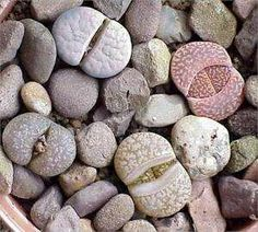 succulent that looks like a rock - Google Search