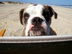 "Bella the English Bulldog guarding her beach chair...  ""You want dis chair? Your gonna have to TAKE it from me!"""