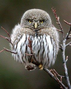 The Northern Pygmy Owl (Glaucidium gnoma) is a small owl native to North and Central America. Photo: Chris Wood. —