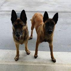 Still waiting! #dog #gooddogs #mansbestfriend #gsd #malinois #shepherdsofinstagram