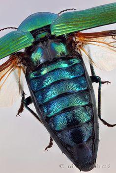 Oak Jewel Beetle in flight