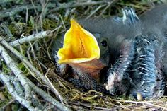 Should you feed baby wild birds? Learn why or why not, plus get the best list of what to feed baby birds if needed.
