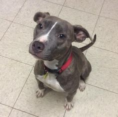 Petango.com – Meet Bella 147, a 2 years Terrier, Pit Bull / Mix available for adoption in CLEVELAND, OH