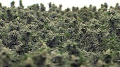 As Ottawa prepares to legalize recreational marijuana, the 27 companies licensed to grow and sell medical pot in Canada are getting ready to cash in.