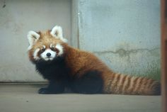 Red Panda, how cute!