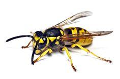 BIZAR! Met DIT product houd je de wespen voor altijd uit jouw buurt.