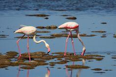Dónde ver aves en el Algarve, Portugal - via Naturaleza y Viajes 16-01-2017 | El birdwatching, del que os hablé en este artículo que publicamos hace un par de meses, se basa en la observación y el estudio de las aves silvestres. Casi 300 especies de este grupo de vertebrados (entre rapaces, marinas, limícolas, anátidas, paseriformes y otras) se dan cita en este territorio repartidas a lo largo de todo el año. Foto: Flamenco Algarve, Bird Watching, Portugal, Colors, Animals, Wild Birds, Vertebrates, Quote, Flamingo