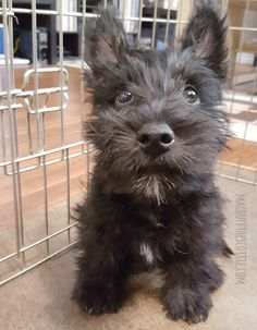 """I looked at this picture and said to myself, """"Are you serious right now! You're too cute!"""" Scottish Terrier Puppy, Terrier Dogs, Pitbull Terrier, Cairn Terriers, Cute Puppies, Cute Dogs, Dogs And Puppies, Doggies, Baby Animals"""