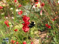 A bumble bee in #goldengatepark #sf