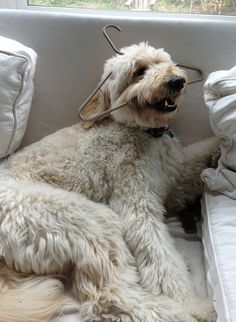 Jack the Goldendoodle and his stolen hanger... could be my stupid, Rory!! Crazy Goldendoodles!!