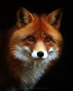 Fox in Oil Paint
