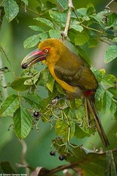 I found this Saffron Toucanet (Pteroglossus bailloni) feeding on a native fruit at the Atlantic Rainforest of SE Brazil.The fruit, as yet unindentified, was from a clinging plant and the birds seemed to love it, as they spent a large part of the day feeding there. Their feeding bouts would last about 10 to 15 minutes, aftewards the birds, a pair, would fly away to a nearby tree in a safer spot to digest the fruits.