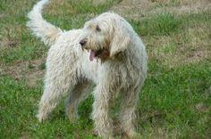 Le Briquet Griffon vendéen est un chien courant. Son poil est long et dur. Utilisé pour la chasse, ce griffon est aussi un très bon chien de compagnie.