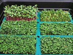 How to Grow and Use Microgreens: How to Grow Microgreens