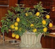 El cultivo del limonero en maceta Indoor Fruit Trees, Indoor Lemon Tree, Indoor Plants, Indoor Garden, Outdoor Gardens, Garden Plants, Vegetable Garden, Indoor Outdoor, Container Gardening