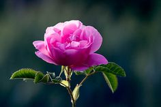 """Damascus Rose"" is a flower famous for its sophisticated feminine fragrance. For centuries, the Damascus Rose has been considered a symbol of beauty and love."