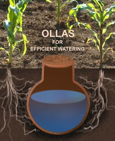 What is an OLLA is an unglazed clay pot fired at a low temperature. This allows the pot to remain porous. The OLLA is buried in the ground with neck exposed and periodically filled with water. The water seeps into the soil at a rate that provides adjacent Water Plants, Water Garden, Garden Pots, Vegetable Garden, Irrigation, Organic Gardening, Gardening Tips, Desert Gardening, Urban Gardening