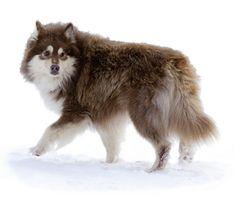 Finnish Lapphund - Suomenlapinkoira | RoyalCanin
