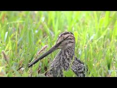 Gallinago paraguaiae - Narceja - South American Snipe